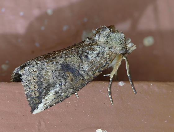 Texas SE Gulf Coast - Elasmia packardii