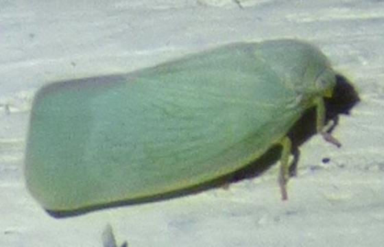 leaf hopper - Flatormenis proxima
