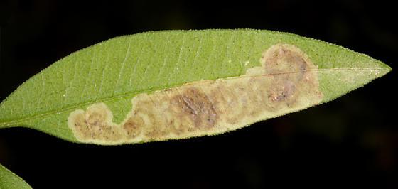 Agromyzidae, on Tall coreopsis, upper side of leaf