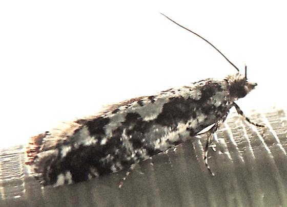 Chimoptesis pennsylvaniana  - Chimoptesis pennsylvaniana