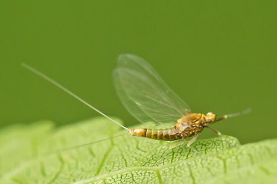 small minnow mayfly - Acentrella turbida - female