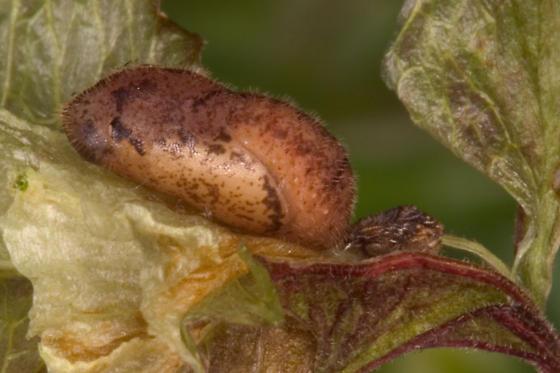 Sliver-Banded Hairstreak - Chlorostrymon simaethis