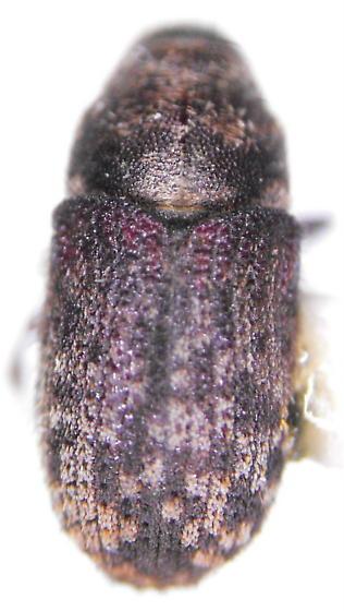 Pseudohylesinus grandis