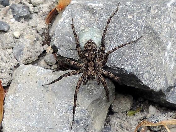 small spider - Pardosa - female