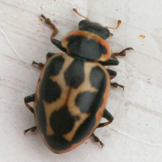 Ladybeetle - Naemia seriata