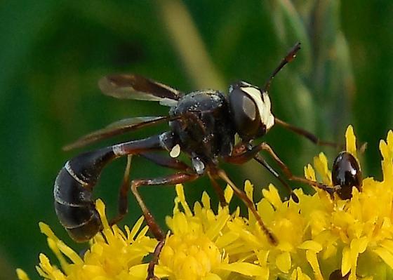 Unidentified Fly - Physocephala furcillata