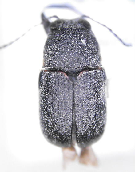Chryso 2 - Pachybrachis donneri