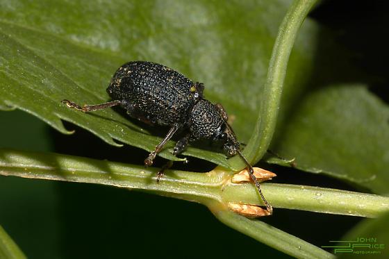 Black Vine Weevil (Otiorhynchus sulcatus), Delaware Piedmont near Wilmington. - Otiorhynchus sulcatus