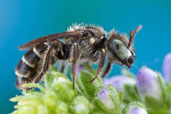 bee - Calliopsis andreniformis