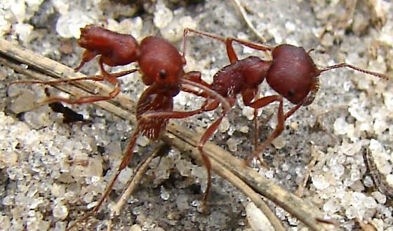 Florida Harvester Ant - Pogonomyrmex badius