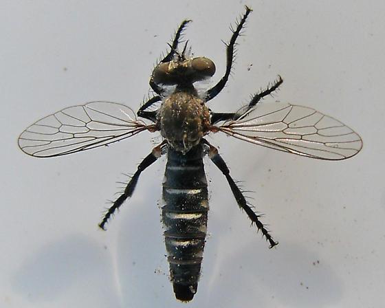 ID for Small, Black Robber Fly in CA? - Nannocyrtopogon - female