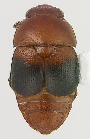 Colopterus posticus (Erichson) - Colopterus posticus - male