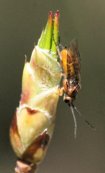 Nematus lipovskyi - Azalea Sawfly - Nematus lipovskyi - female