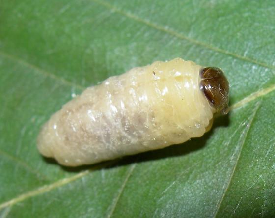 Large Maggot - Polistes