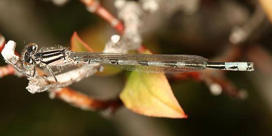 New England Bluet - Enallagma laterale - male