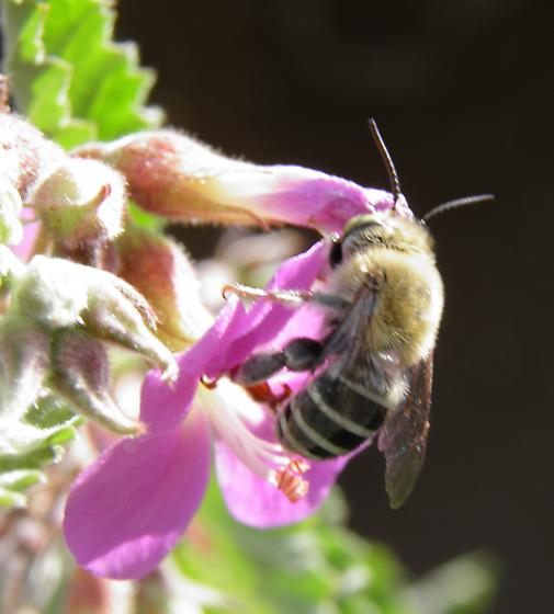 Bee - Anthophora californica
