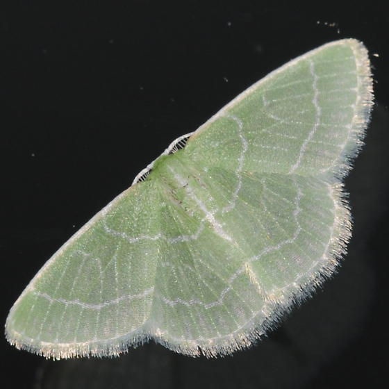 Greenish Moth - Synchlora aerata - male