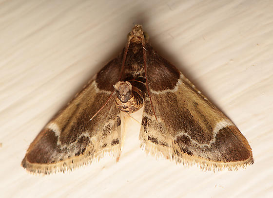 Moth for ID - Pyralis farinalis