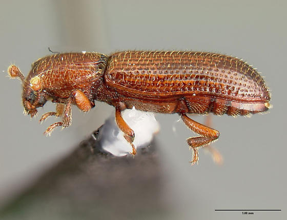 Unknown beetle 2 - Oxylaemus californicus