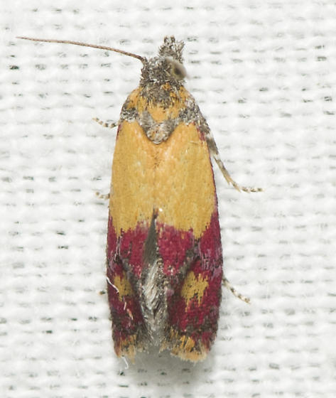 Atroposia oenotherana