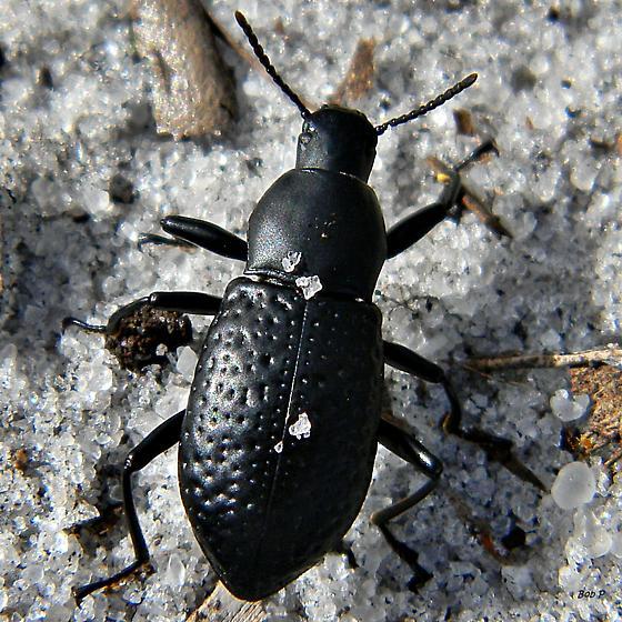 Darkling Beetle - Polopinus youngi