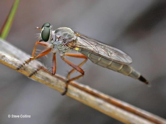 Polacantha - female