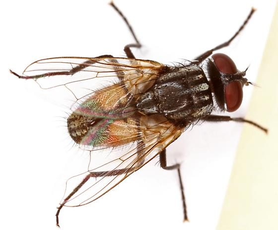 how to get rid of lesser house flies