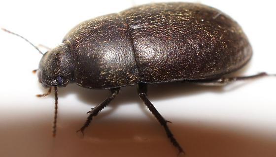 Round Beetle - Coniontis