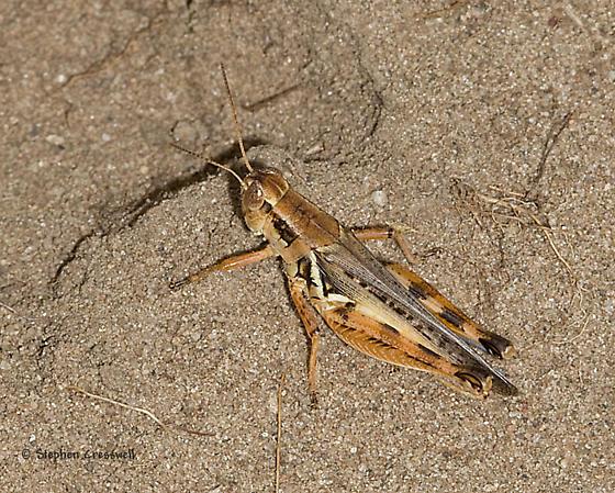 Puccoon Prairie grasshopper - Melanoplus bispinosus - female