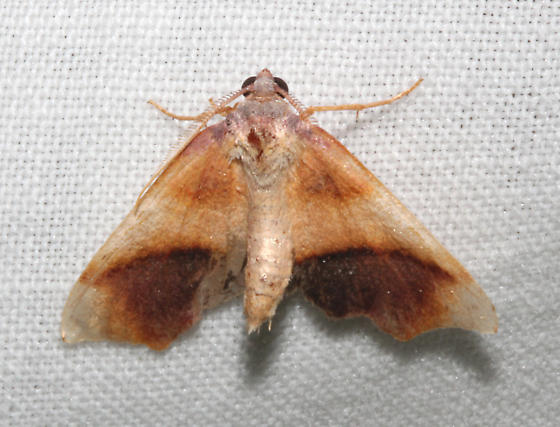 Geometridae, Purple Plagodis - Plagodis kuetzingi - male