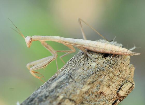 Mantis religiosa - European Mantis - Mantis religiosa