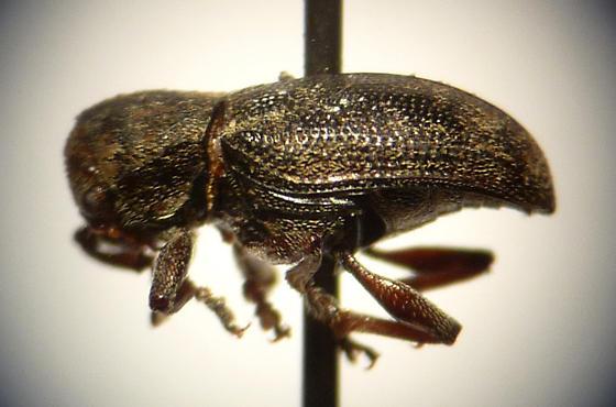 another beetle - Myochrous cyphus-denticollis