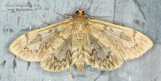 Crowned Phlyctaenia - Anania