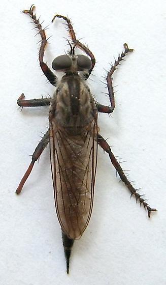 Robber Fly - Machimus callidus - female