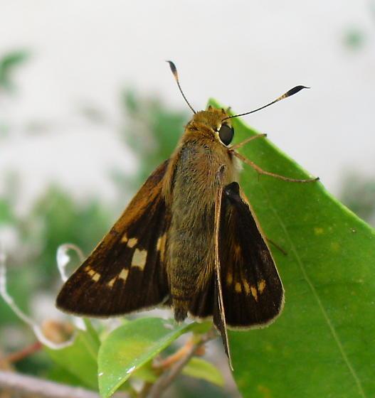 Handsome, mysterious brown skipper - Quasimellana eulogius