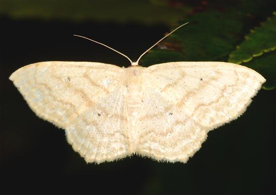 Scopula limboundata - Large Lace-border - Scopula limboundata