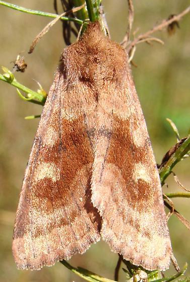 Bronzed Cutworm Moth? - Nephelodes minians