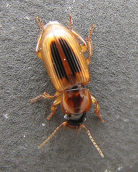 LeConte's Seedcorn Beetle - Stenolophus lecontei