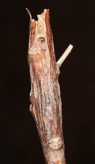 Goldenrod Gall Moth, gall - Epiblema scudderiana