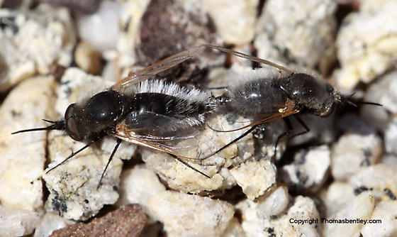 Bee Flies - Lordotus - male - female