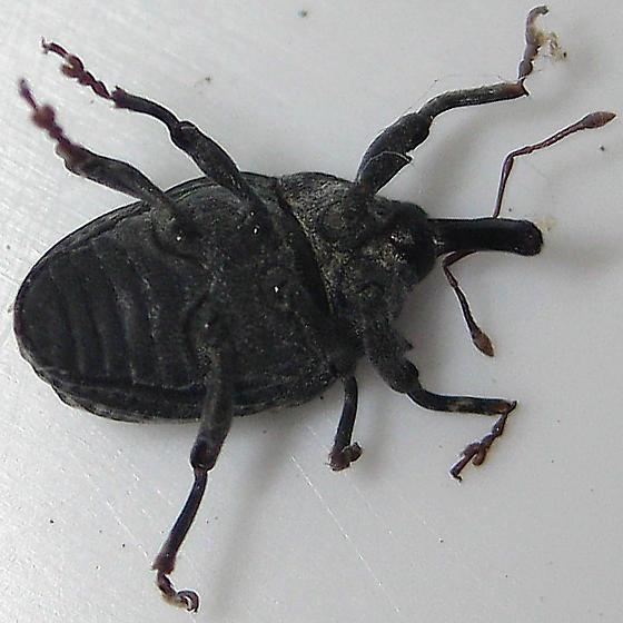 Milkweed Stem Weevil - Rhyssomatus lineaticollis