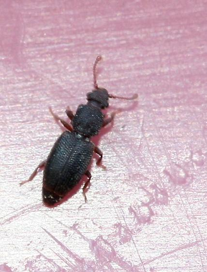 Root-eating Beetle? - Monotoma americana