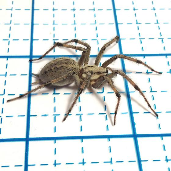 Big Brown Hairy Spider