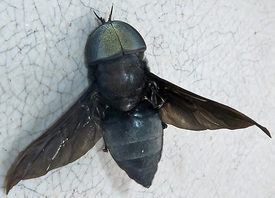 Black Horse Fly - Tabanus atratus - male
