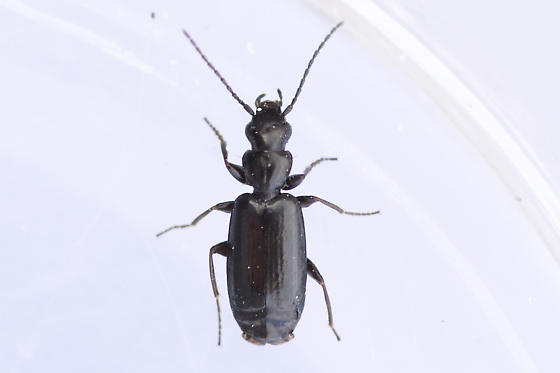 Unknown Ground Beetle  - Microlestes