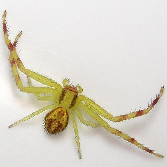 Northern Crab Spider - Mecaphesa asperata - female