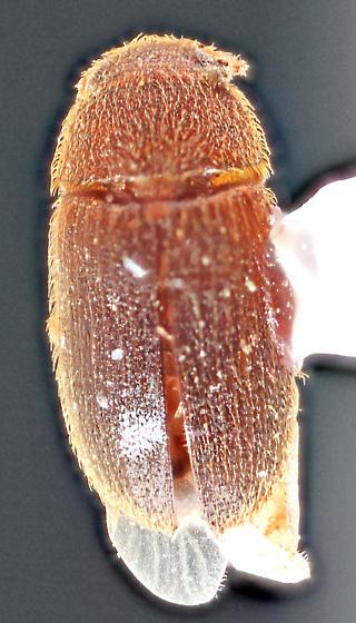 Mojave-22 - Typhaea stercorea