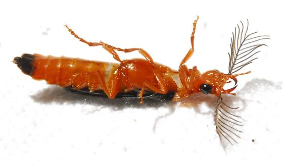 Western Banded Glowworm? - Zarhipis integripennis - male