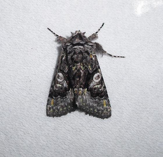 EB10Or-0037 - Behrensia conchiformis