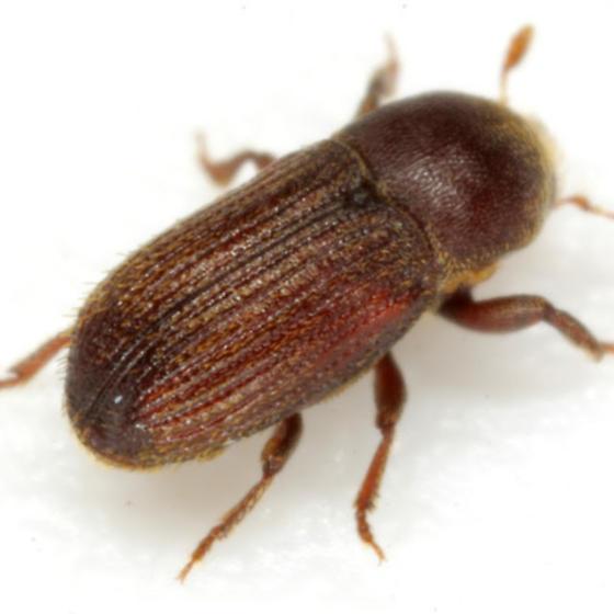 Cnesinus strigicollis LeConte - Cnesinus strigicollis